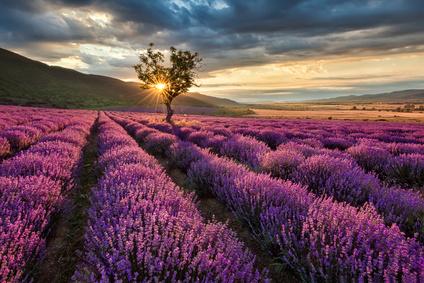 Lavendelfeld innere Ruhe